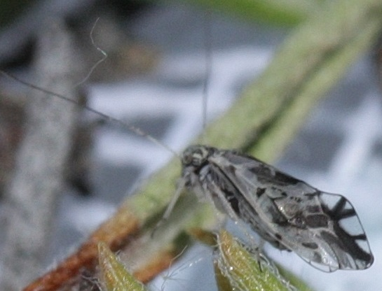 Barklouse - Indiopsocus coquilletti