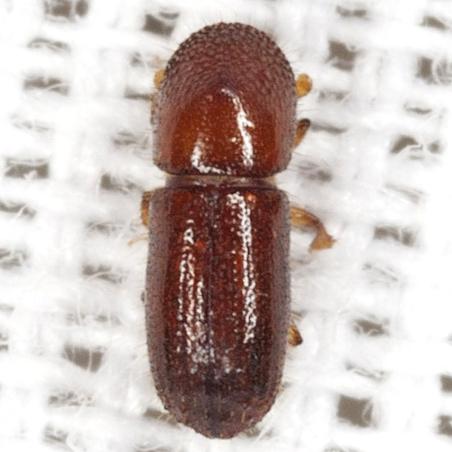 Bark Beetle - Xyleborus affinis