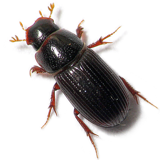 Shovel-faced Beetle - Ataenius strigatus
