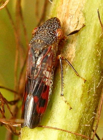 Glassy-winged sharpshooter - Homalodisca vitripennis