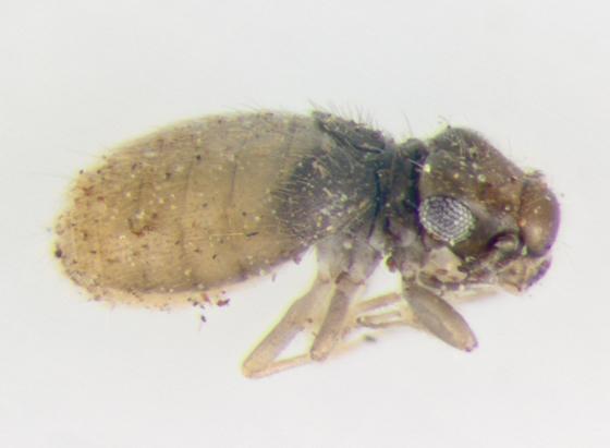 Psocodea, lateral - Lepinotus reticulatus