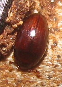 Small brown beetle - Hypodacne punctata