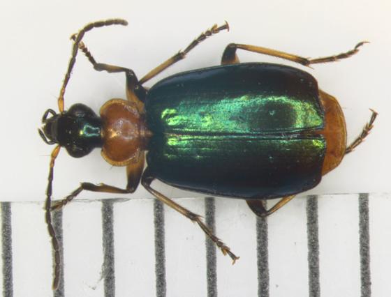 Harpalinae, dorsal - Lebia viridipennis