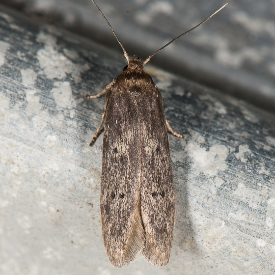 Holcocera (Asaphocrita) aphidiella ? - Holcocera