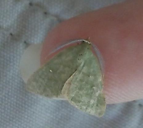 Frass: Chloraspilates bicoloraria - Chloraspilates