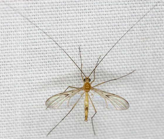 Fly IMG_0487 - Macrocera - male