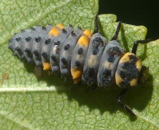 Lady Beetle larva - Coccinella septempunctata