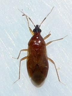 bug - Amphiareus obscuriceps