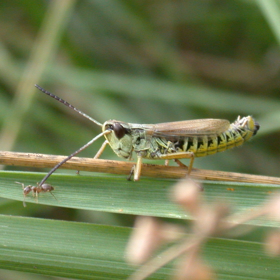 Grasshopper contemplating ant - Chorthippus curtipennis - male