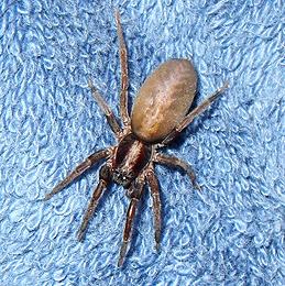 Unknown Spider (Ariadna Species?)  - female