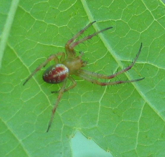 Spotted Spider - Araneus gadus - female