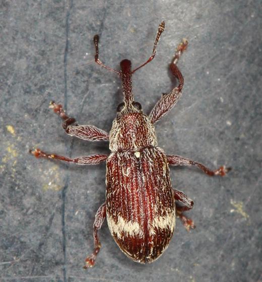 small reddish snout beetle - Anthonomus dentoni