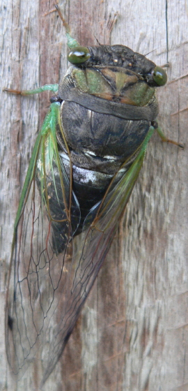 Swamp Cicada - Neotibicen tibicen - female