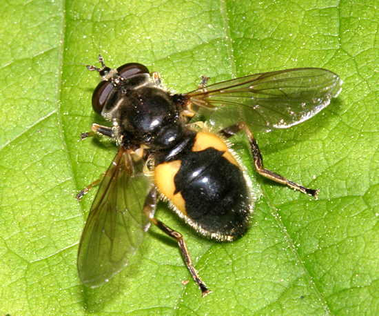 Hover Fly? - Blera confusa - female