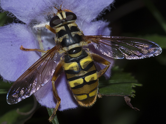 Yellowjacket Hover Fly - Milesia virginiensis - female