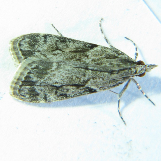 Eudonia spenceri - Hodges #4730 - Eudonia spenceri