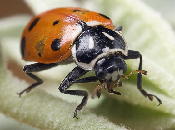 convergent lady beetle? - Hippodamia convergens