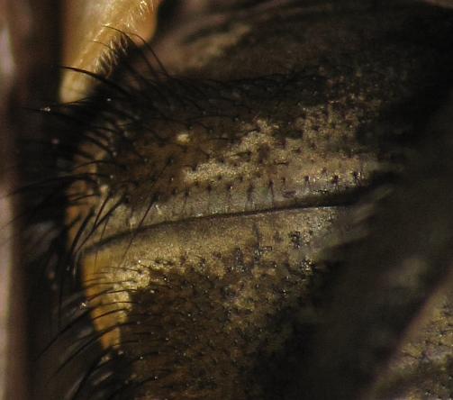Pollenia rudis - male
