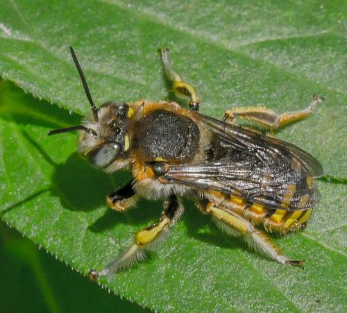 stocky bee with long antenna - Anthidium manicatum