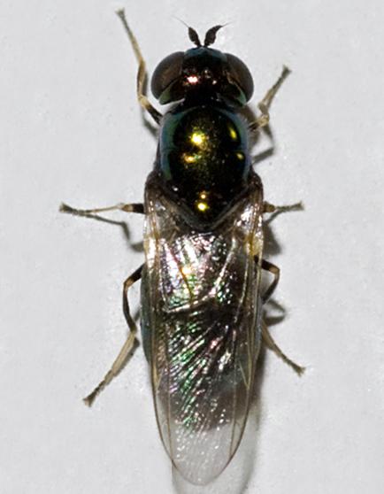 Soldier Fly - Microchrysa polita - female