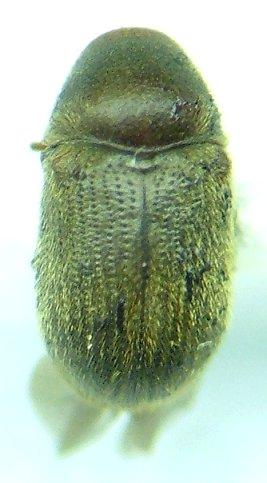 Anobiidae - Sculptotheca puberula