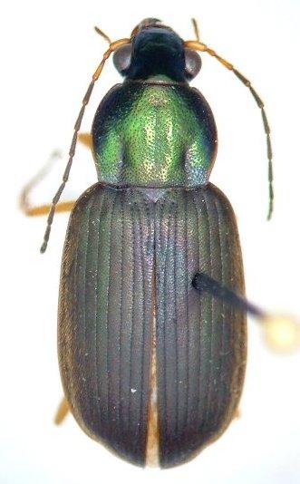 Chlaenius pennsylvanicus - female