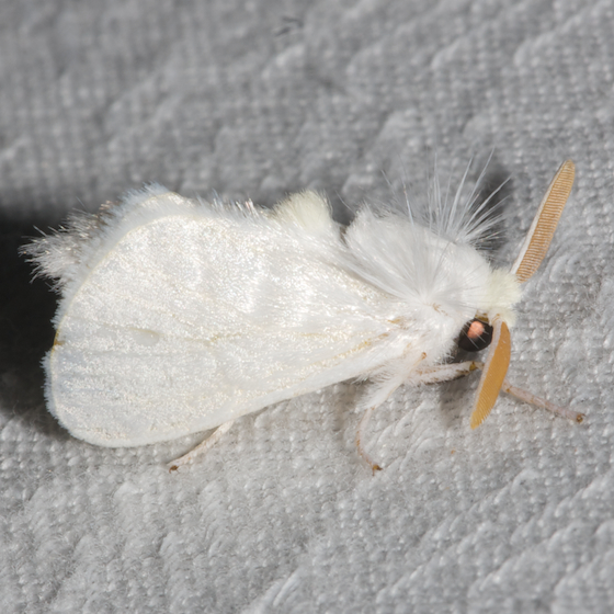 White Flannel moth - Hodges#4650 - Norape ovina