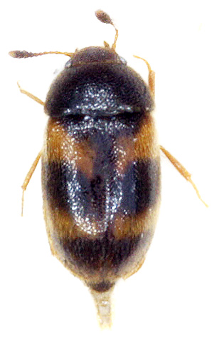 Mycetophagidae sp. - Mycetophagus didesmus - female