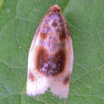 Black-patched Clepsis Moth   - Clepsis melaleucana