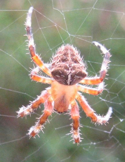Unidentified spider, Santa Barbara County, California - Araneus gemma