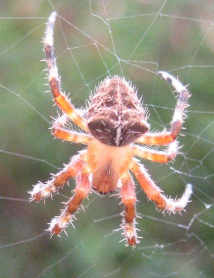 Unidentified spider, Santa Barbara County, California - Araneus gemma
