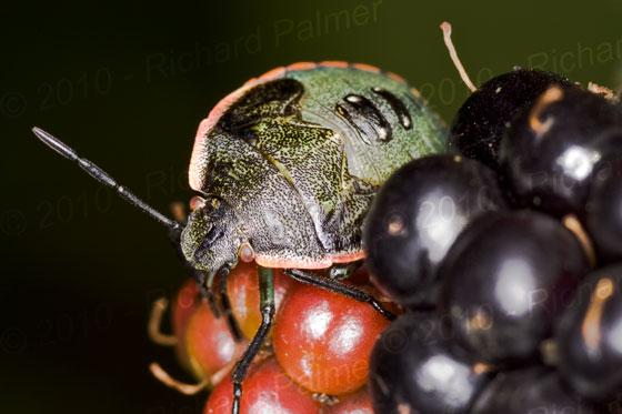 Stink Bug on Blackberry - Chlorochroa