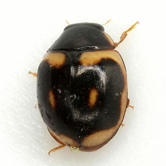 Hyperaspis trifurcata Schaeffer - Hyperaspis trifurcata