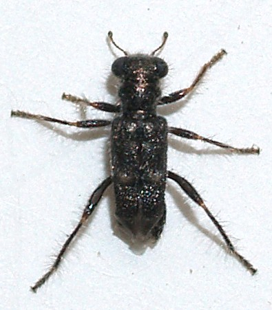 Phyllobaeus sp. - Phyllobaenus subfasciatus