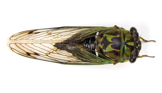 Tibicen robinsonianus - Neotibicen robinsonianus - female